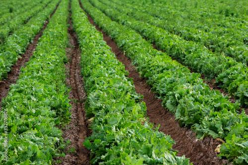 plantaciones y cosechas de agricultura ecológica y orgánica Wallpaper Mural