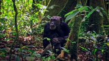Mzee Aka Old Chimpanzee Restin...