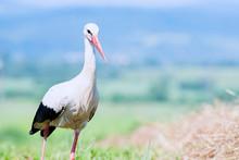 White Stork Walks