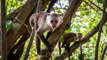 Capuchin Monkey In Tayrona Par...