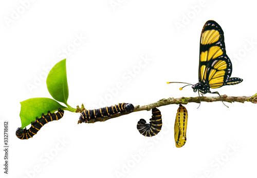 Cuadros en Lienzo evolution metamorphosis caterpillar to butterfly on leaf