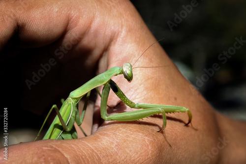 Obraz na plátně mantis sitting on hand in hot summer close up