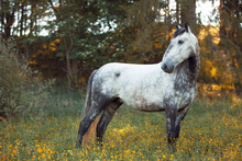 Grey Horse Kladruber Standing In High Grass With Yellow Flowers With Forest In Background
