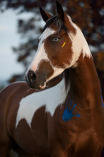 Paint Horse With Blue Eyes Por...