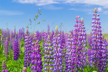Purple Lupine Flower Closeup O...