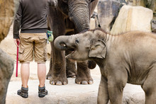 Old And Young Elephants With A...