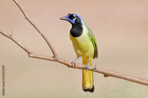 Green Jay (Cyanocorax luxuosus) perched, South Texas, USA Wallpaper Mural