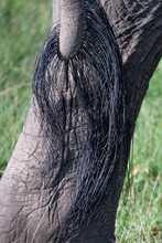 Close Up Of Elephant Tail And ...