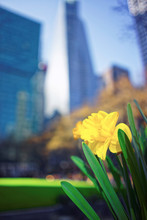 Yellow Narcissus In Bryant Park