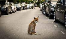 Red Fox On A Road In London