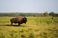 Bison, Buffalo In Elk Island, ...
