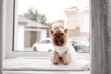 Yorkshire Terrier In White Dre...