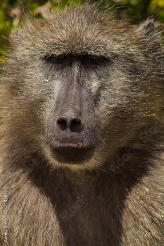 Photo awesome portrait of baboon
