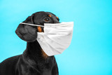 Fototapeta Zwierzęta - Portrait of a cute sick Dachshund dog, black and tan, wearing white medical mask on a muzzle on a blue background. concept of pet protection