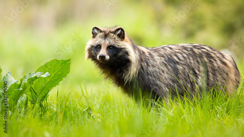 Fototapeta Side view of a surprised raccoon dog, nyctereutes procyonoides, standing in wilderness in summer. Cute wild animals with eyes and ears in natural environment. obraz