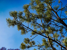 Coniferous Branches On A Background Of Blue Sky, Pissouri, Cyprus