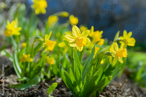 Fototapety, obrazy:  Petit Narcissus 'Tete-a-Tete' daffodils in a home garden.