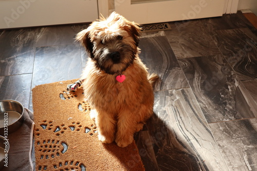 Bailey the Soft-Coated Wheaton Terrier фототапет