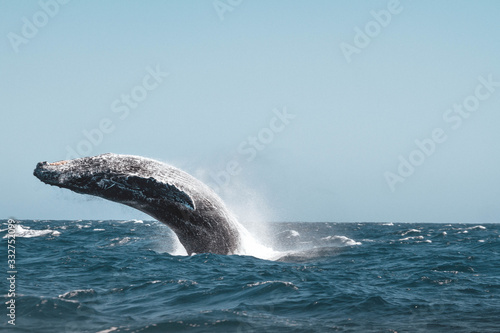 Humpback whale jumping Canvas Print