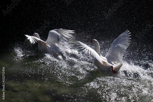 Photo Pareja de cisnes despegando del agua a contraluz.