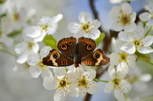Common Buckeye Butterfly On Fl...