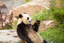Giant Panda Sitting Eating Bam...