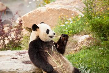 Fototapeta Panda giant panda sitting eating bamboo shoots in a zoo