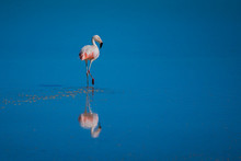 Chilean Flamingo, Alone, In The Bolivian Salt Flats, Fully Reflected With Bubbles, And Standing On One Leg