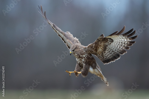 Flying raptor over the meadow , Common Buzzard Canvas Print