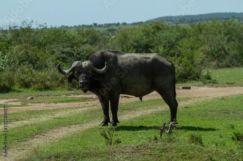 Cape Buffalo blocking the path home Canvas Print