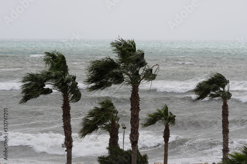 Fototapeta Palms,sea and windy weather