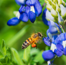 Bee Pollinating Texas Bluebonnet Flower