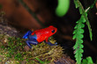The strawberry poison-dart frog (Oophaga pumilio) from Costa Rica