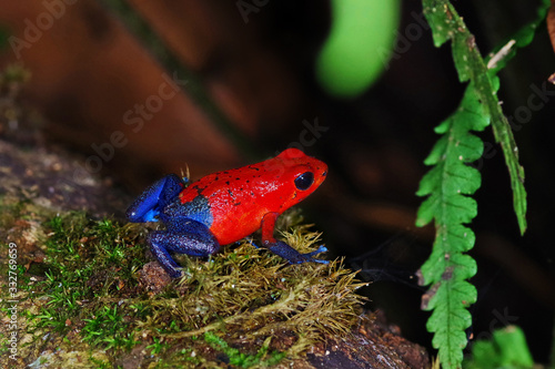 The strawberry poison-dart frog (Oophaga pumilio) from Costa Rica Canvas Print