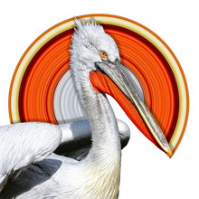 White Pelican (Pelecanus Onoc...