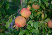 Ripening Pomegranate On A Branch