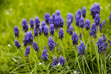Grape Hyacinths In A Field