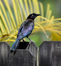 Male Common Grackle With Iride...