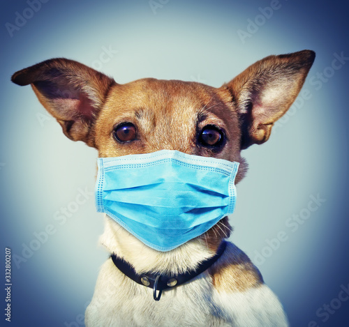 Obraz Jack Russel Dog with Face Mask - Coronavirus SARS-CoV-2 - fototapety do salonu