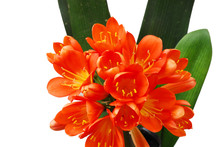 Close Up On Clivia Flower Blooming In Spring