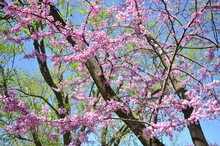 Spring Redbud Trees Against A ...