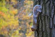 A Squirrel Climbing A Tree Upside Down Near Mount Royal, Montreal, Canada.