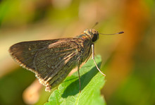 Skippers - Close Up Detail Of ...
