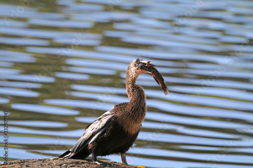 Photo Anhinga with fish_03