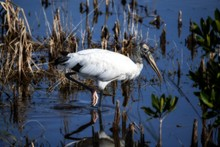 Shallow Focus Shot Of A Beautiful Wood Stork On The Lake With A Blurred Background