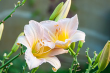 Two Beautiful Delicate Pink Lilies In The Garden On A Sunny Spring Day On A Green Background. Close Up. Selective Focus