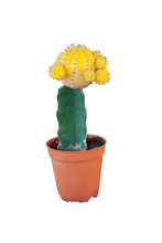 Yellow Cactus In A Brown Plast...