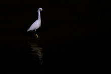Snowy Egret, Egretta Thula, St...