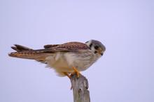 Female Common Kestrel, Falco T...