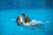 Two Dolphins (scientific Name ...